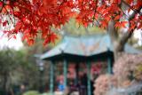 上海中山公园枫红