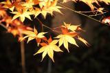 弘前城夜枫
