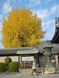 西本愿寺·银杏出墙