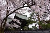 后山之春‧日本阿尔卑斯樱见
