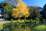 東京清澄庭園銀杏