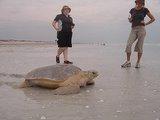 澳洲CVA環保義工─拯救平背海龜