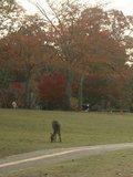 奈良公園賞楓-- 尋訪紅葉與小鹿的美麗邂逅