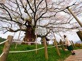 心中的日本第一樱花树-冈山真庭醍醐樱(关西也推荐前往...